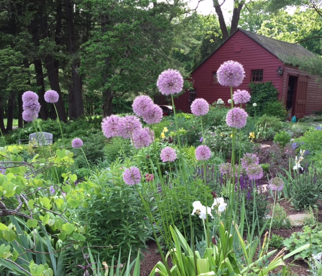 Alliums and barn.jpg