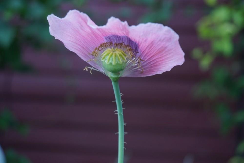 Last-poppy-IMG_2540-1024x684.jpg