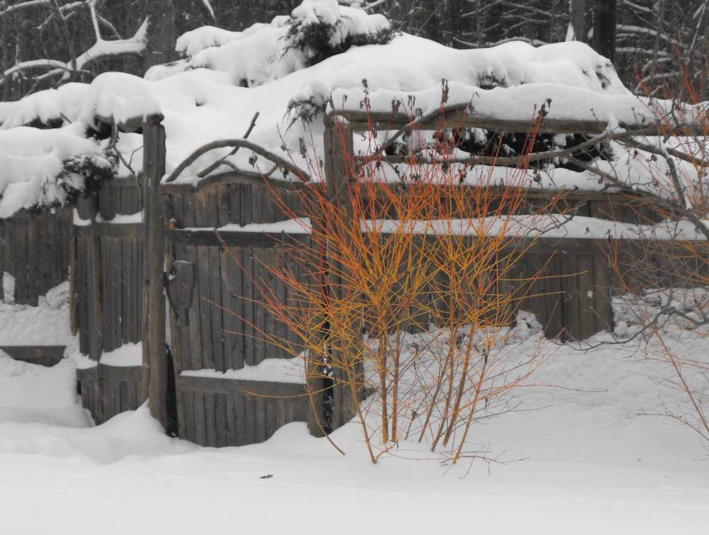 Winter-and-the-dogwood.jpg