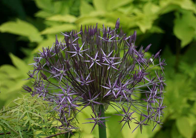 PURPLE-ALLIUMDSC02678.jpg