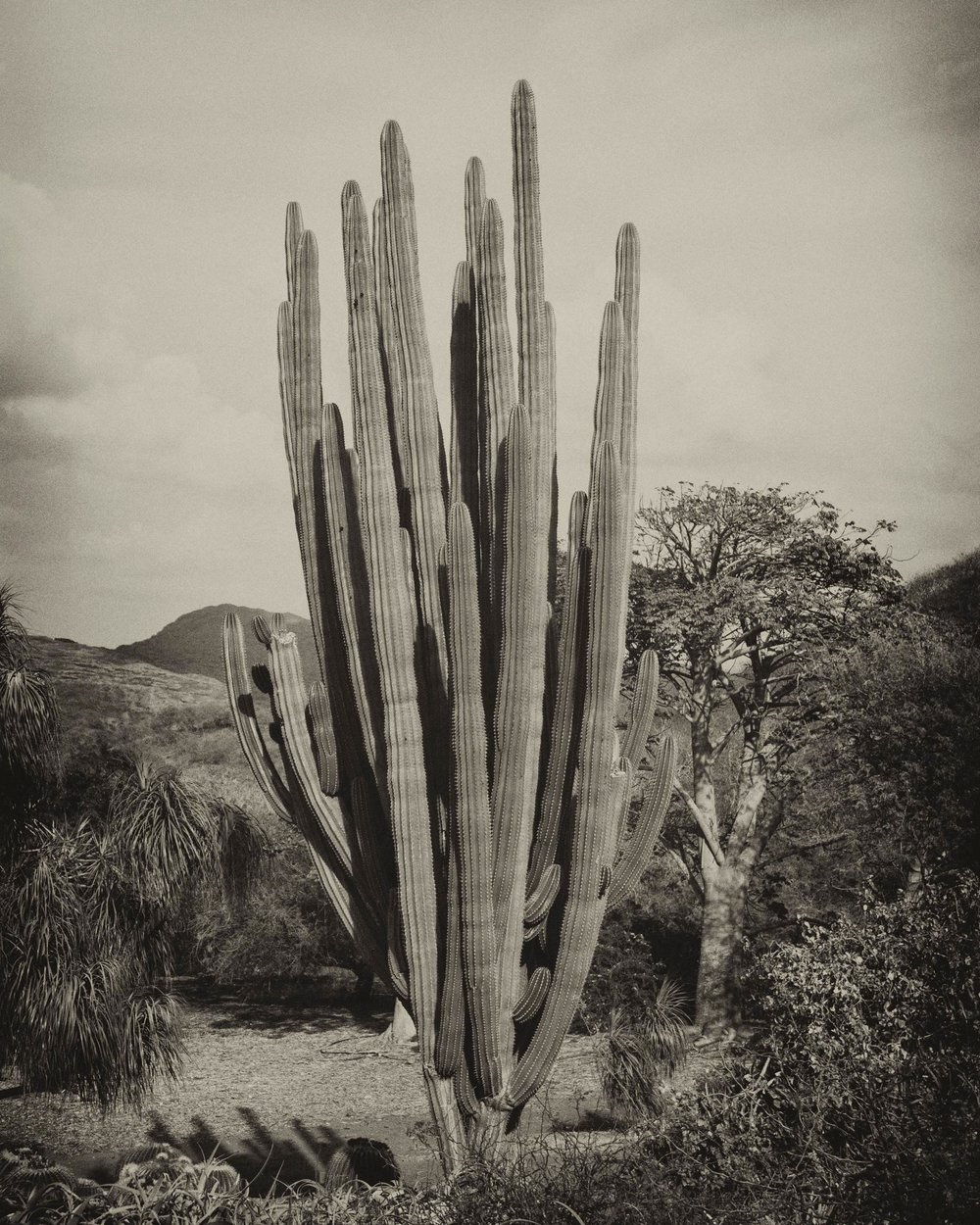 Saguaro cactus, oahu, Hawaii