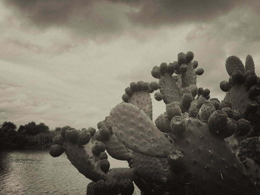 Tunas on nopal 2 croppedsepia IMG_4955 copy.jpg