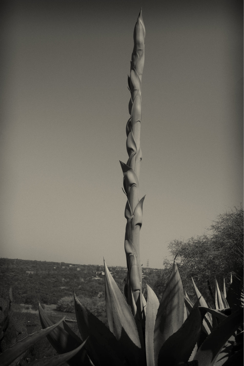 The giant mast of agave, El Charco del Ingenio, San Miguel de ALlende
