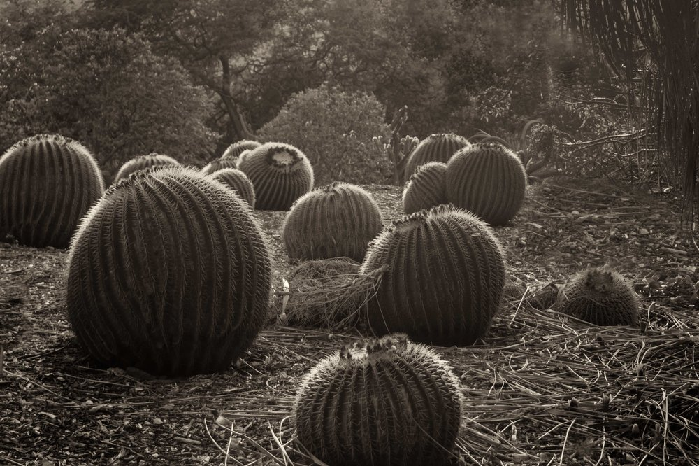 Barrel cacti * DSC03600.jpg