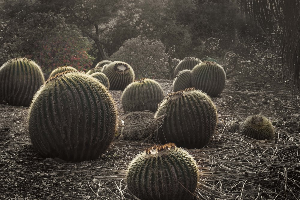 Biznaga de Zimapan or Golden Barrel Cactus, Oahu, Hawaii
