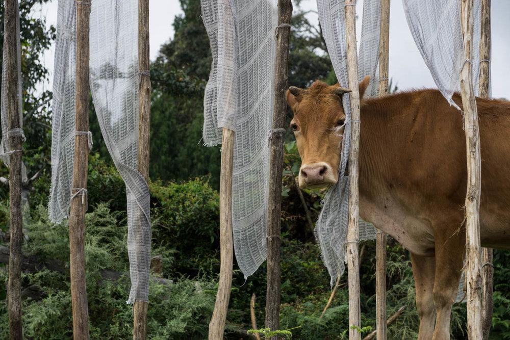 Cow DSC6428.jpg