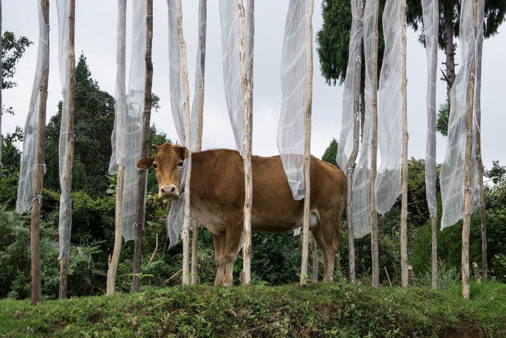 Cow 1 _DSC6425.jpg