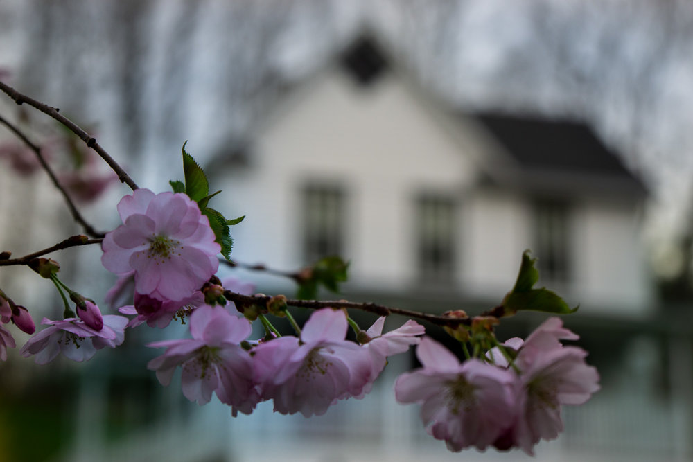 Cherry blossom and house DSC8489.jpg