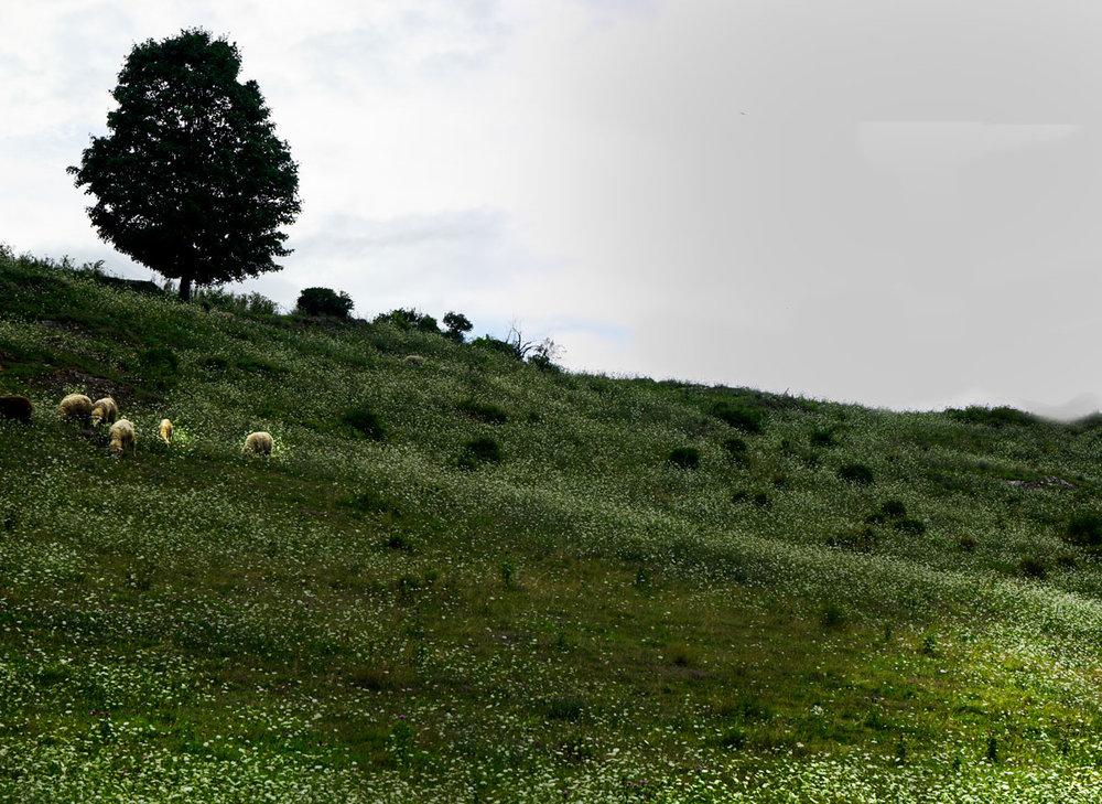 Field-and-sheep-2_DSC8819.jpg