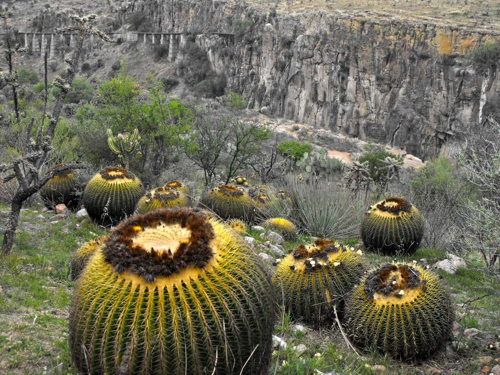 Golden Barrel cactus tumbling into the canyon . (These were rescued from a dam project in Queretaro and replanted)
