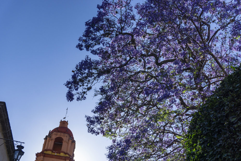 One of many jacarandas in the historic centro of san miguel