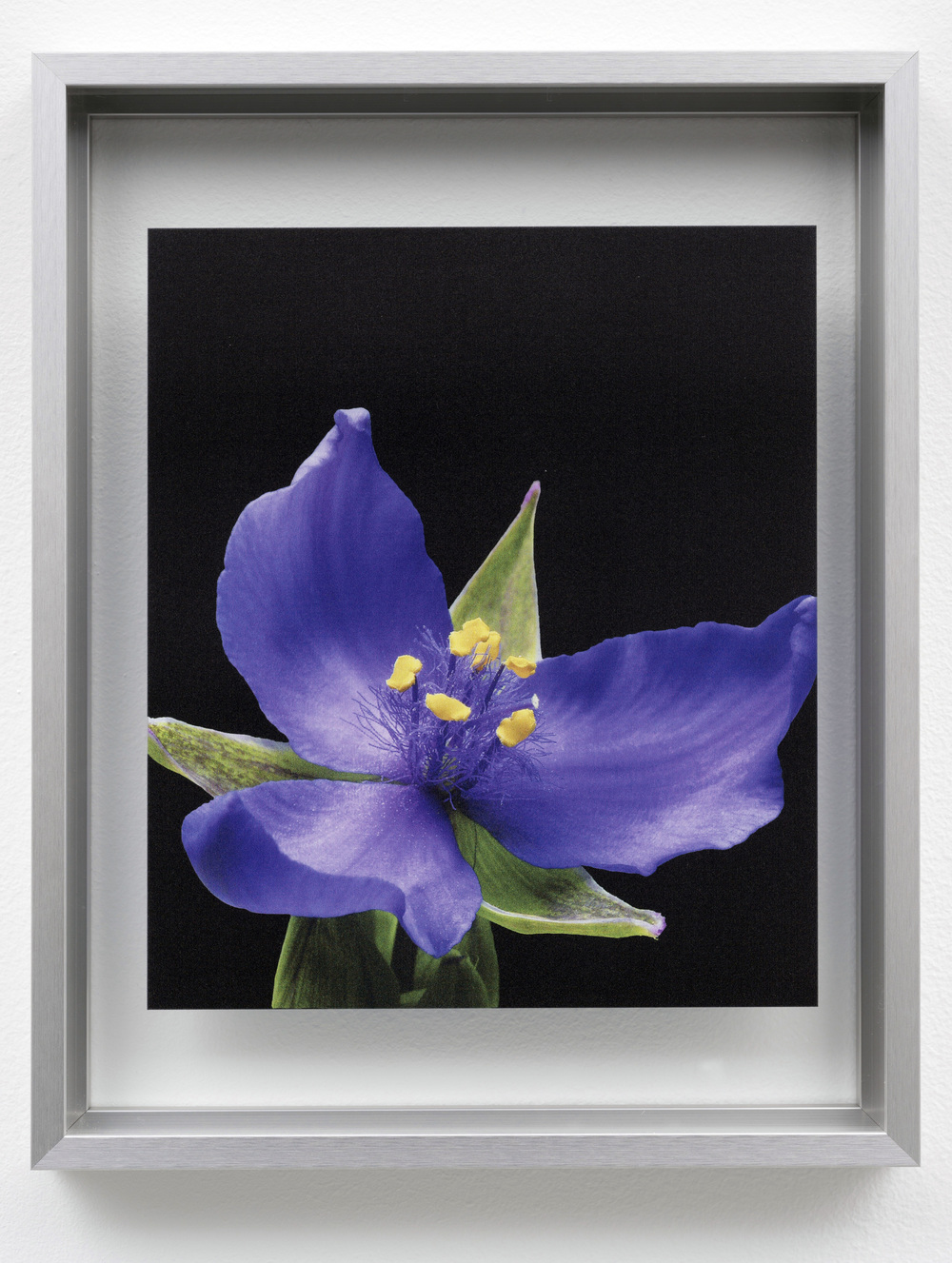 Spiderwort (Tradescantia) from the to Threptikon series, 2014. Courtesy of James Caudell, Florida Native Plants Nursery