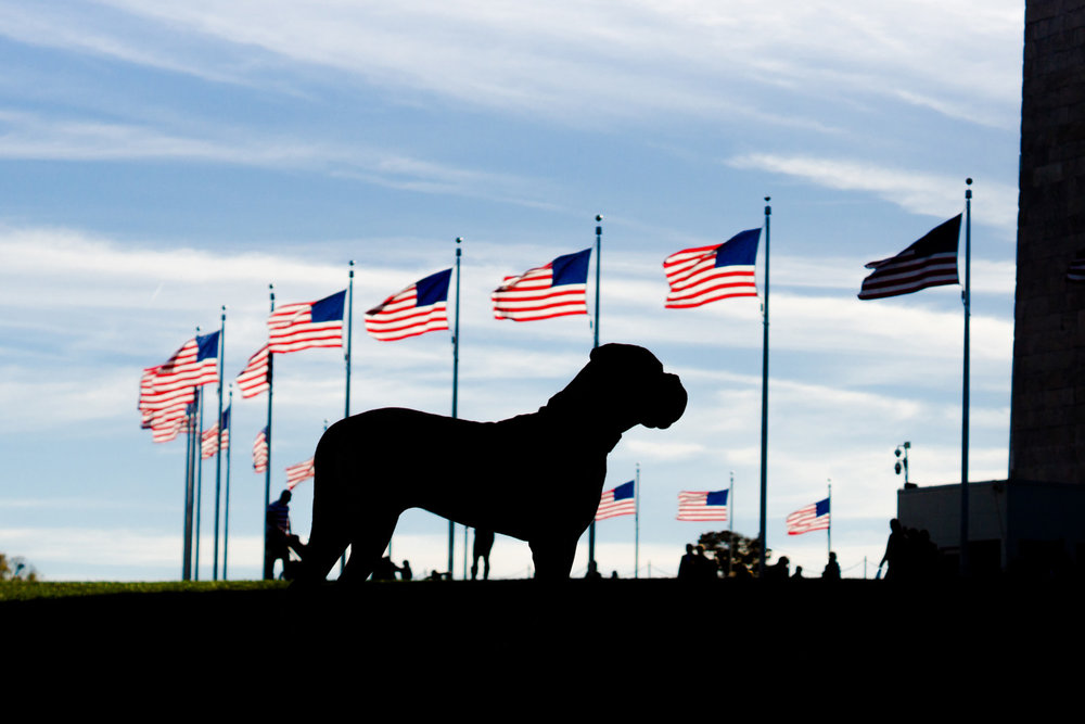 Dog in Front of American Flags in The District of Columbia
