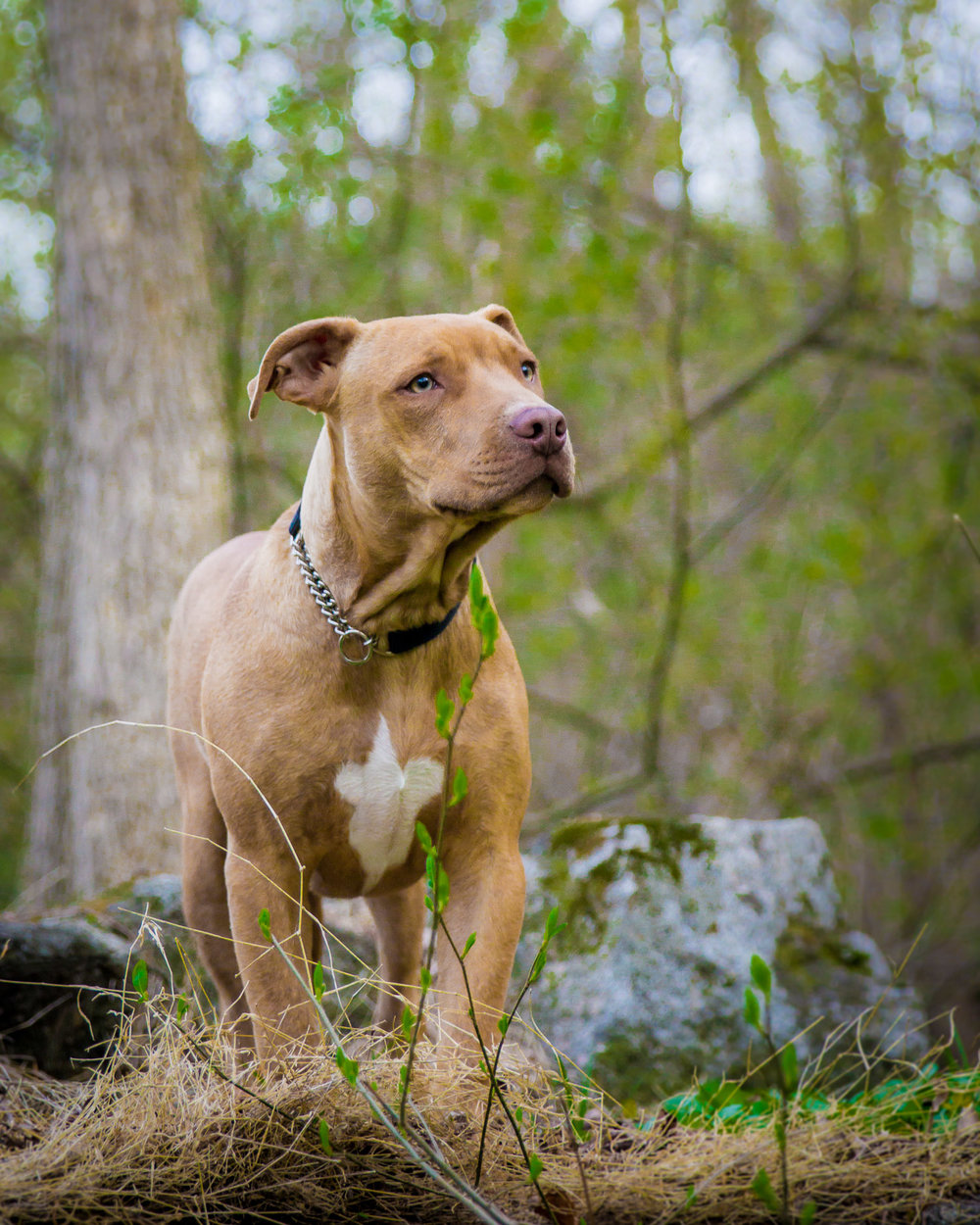 Pitbull Outside The Lines Pet Photography.jpg