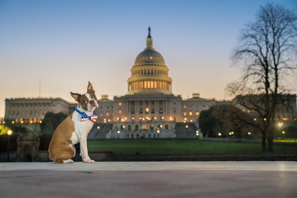 Oliver the Boston Terrier in front of The US Capitol Building at Sunrise