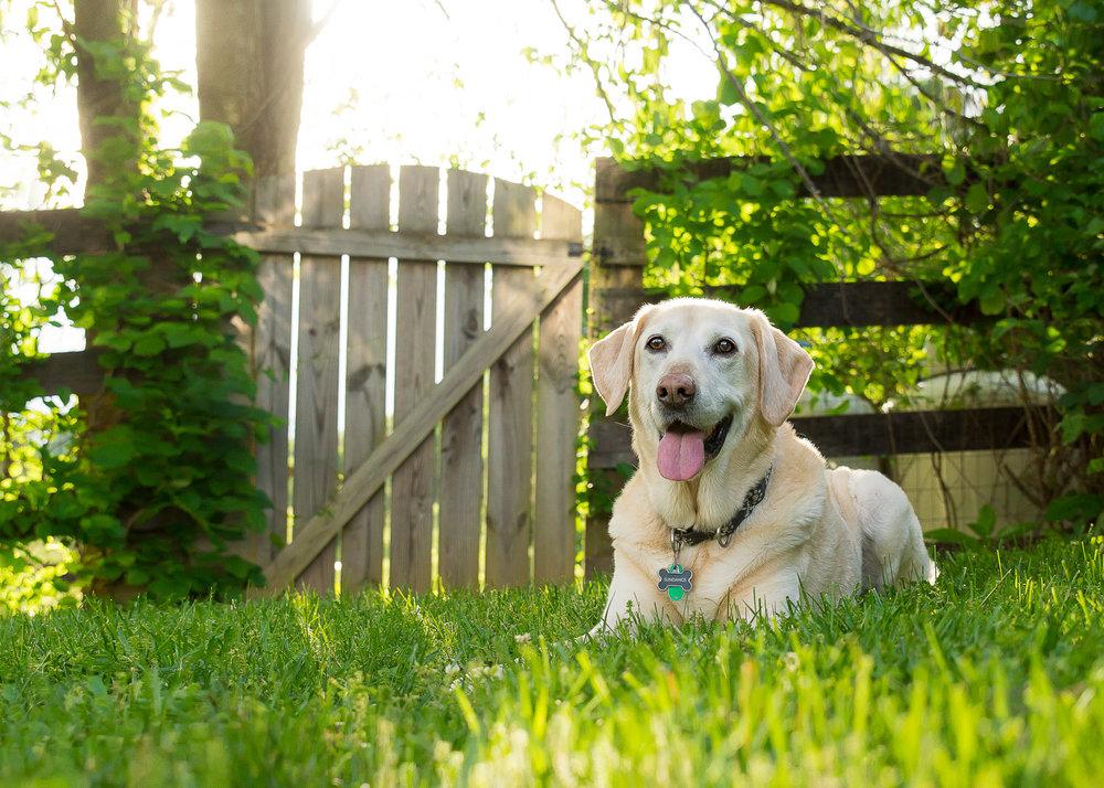 Labrador Retriever Dog at Sunset