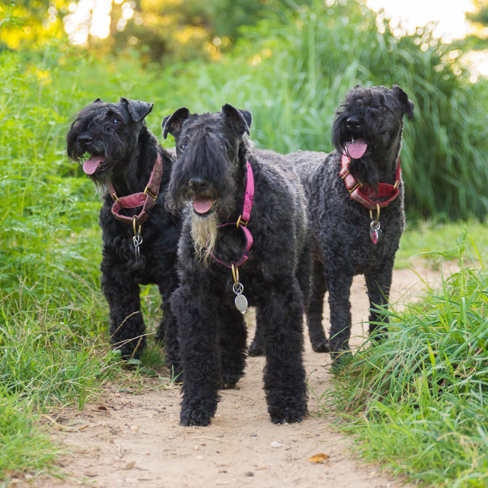 Kerry Blue Terriers - Pet Photography