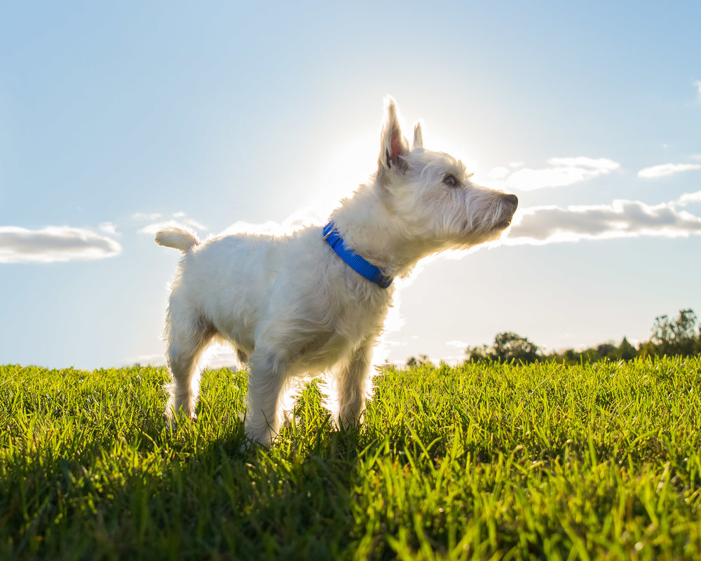 Westie at Sunset - Dog Photographer