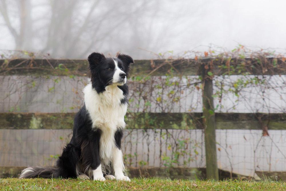 Border Collie Guarding The Farm