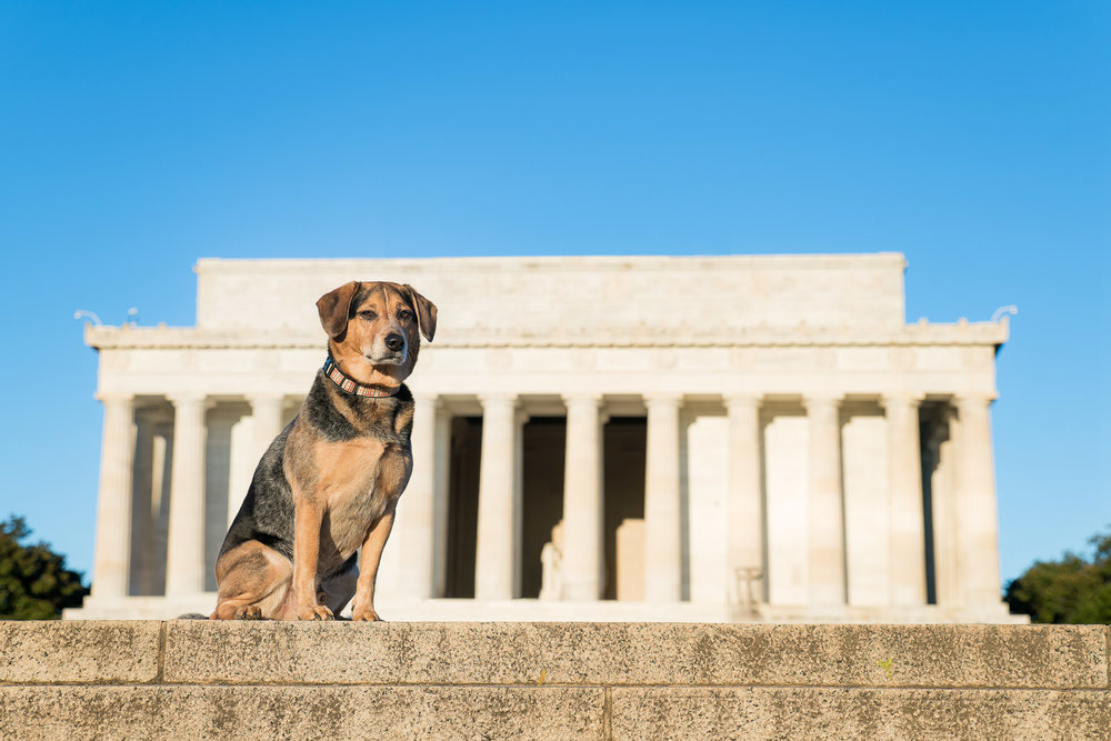 Alfred looks likes such a poised dog in front of The Lincoln Memorial