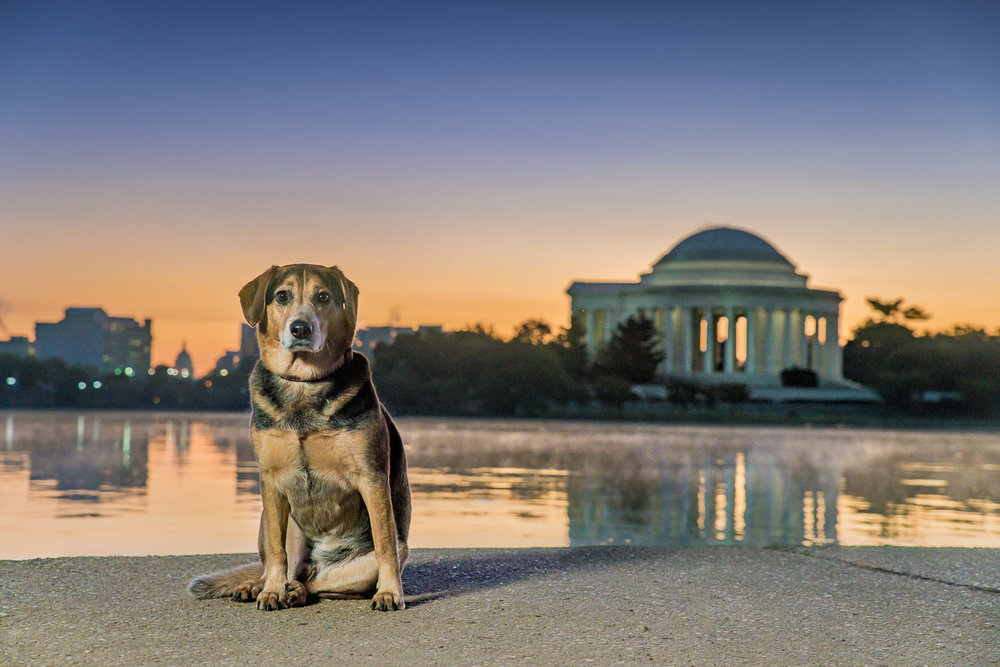 One more shot of Alfred, but this time you can easily see Jefferson Memorial in the background at sunrise.  There is even a bit of morning fog on the water's surface.