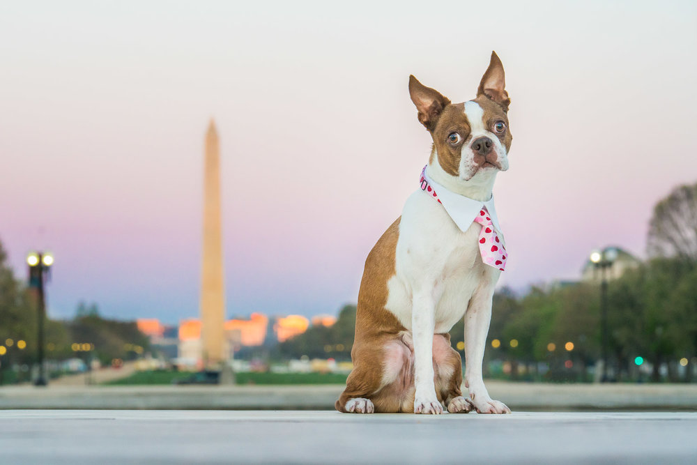 Boston Terrier in DC Pet Photo.jpg