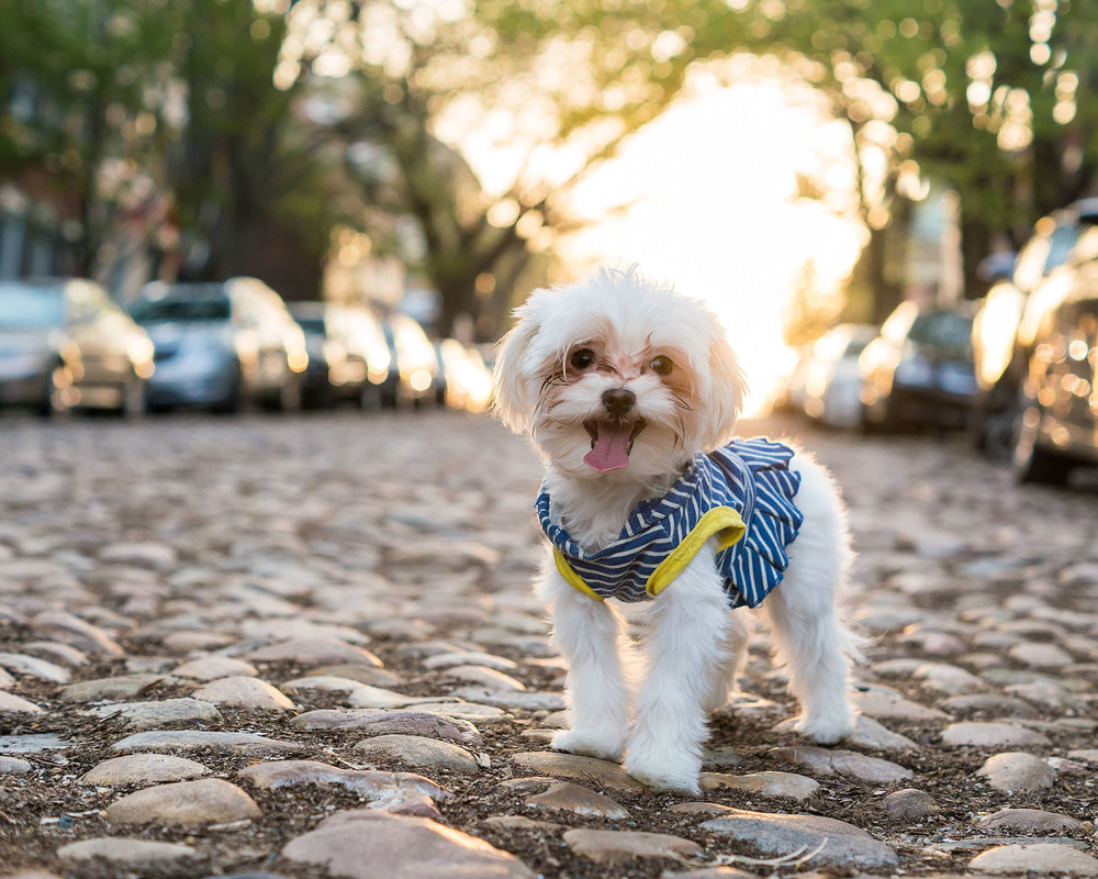 Here is Lily one of the models for The Small Dogs of Alexandria.  Her session took place near the waterfront and on Prince St.  If you live in the area you have likely seen these cobblestones.