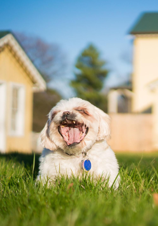 Happy Dog in Alexandria VA Pet Photographer 11.jpg