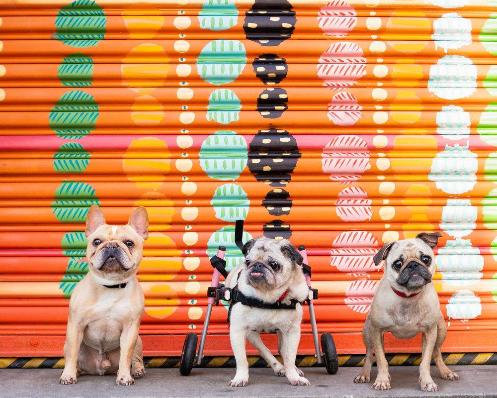 Small Dogs of Alexandria Pet Photographer-9.jpg
