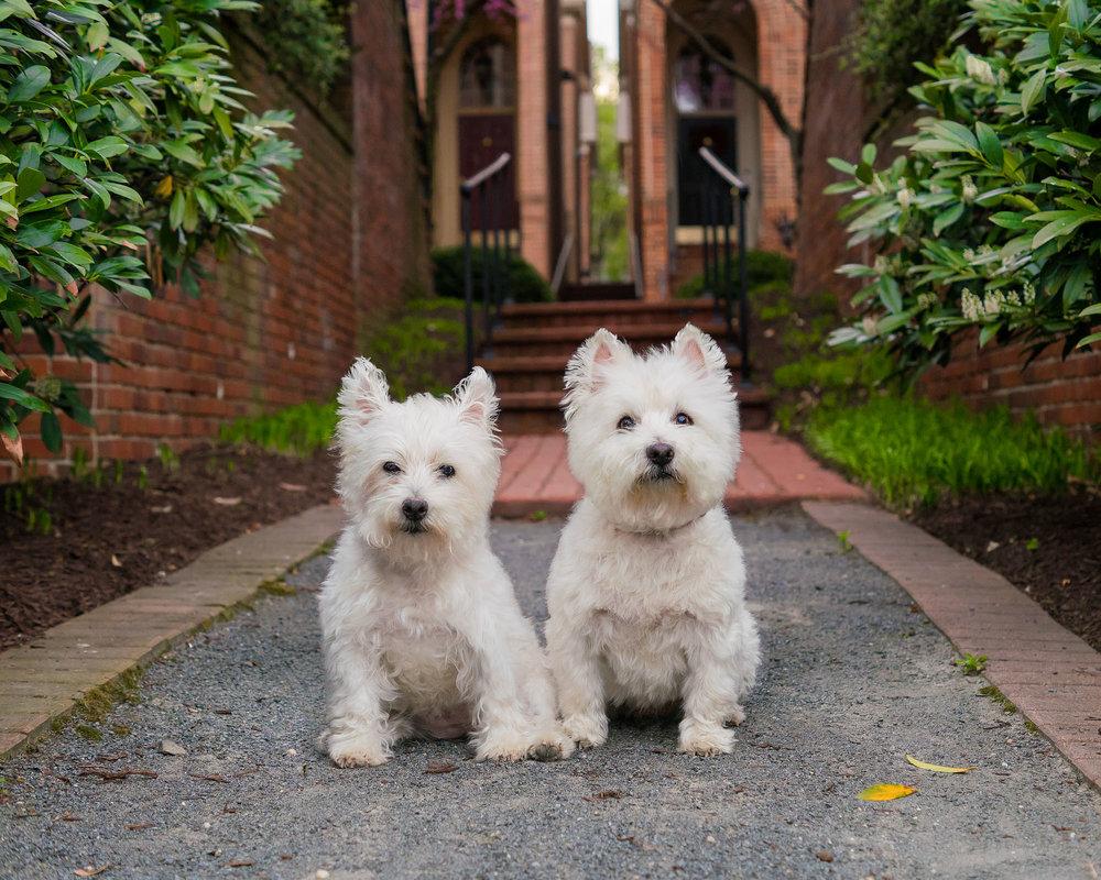 Two Westie Dogs in Alexandria Virginia - Pet Photographer -1.jpg