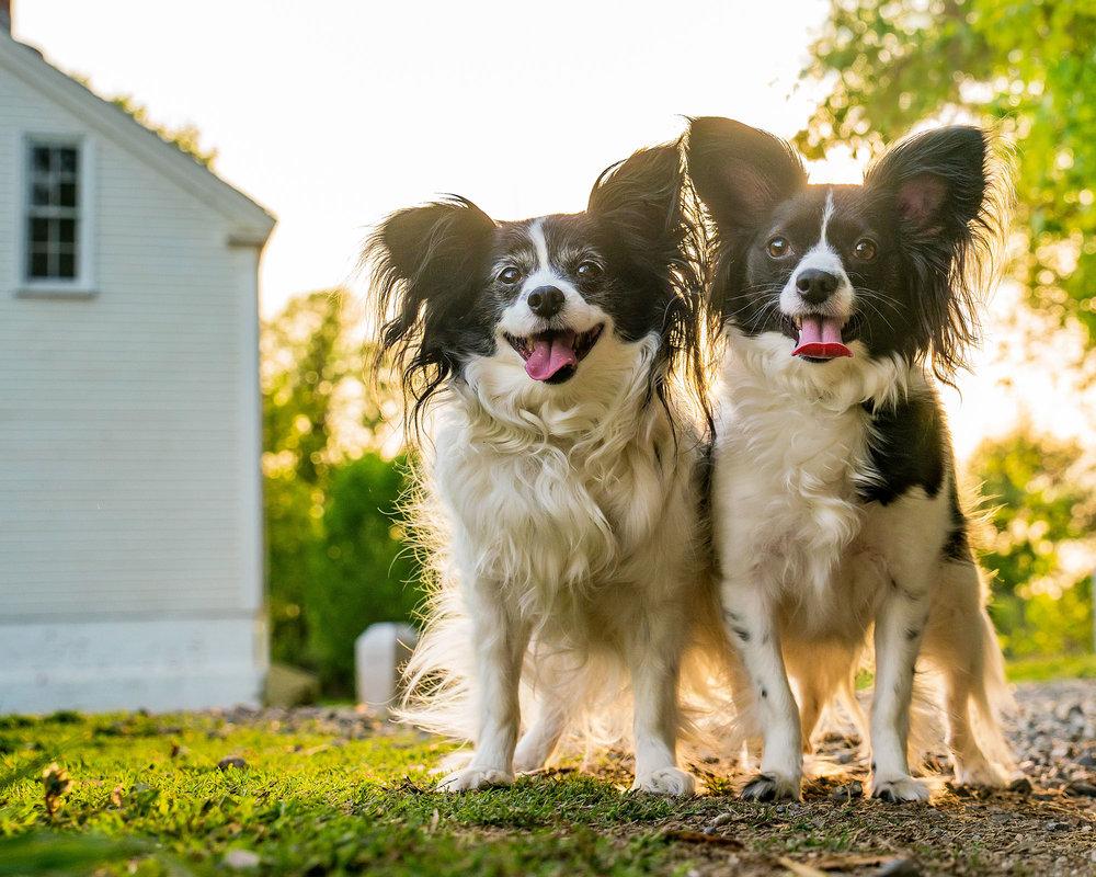 Small Dogs of Alexandria Pet Portraits in Virginia -10.jpg