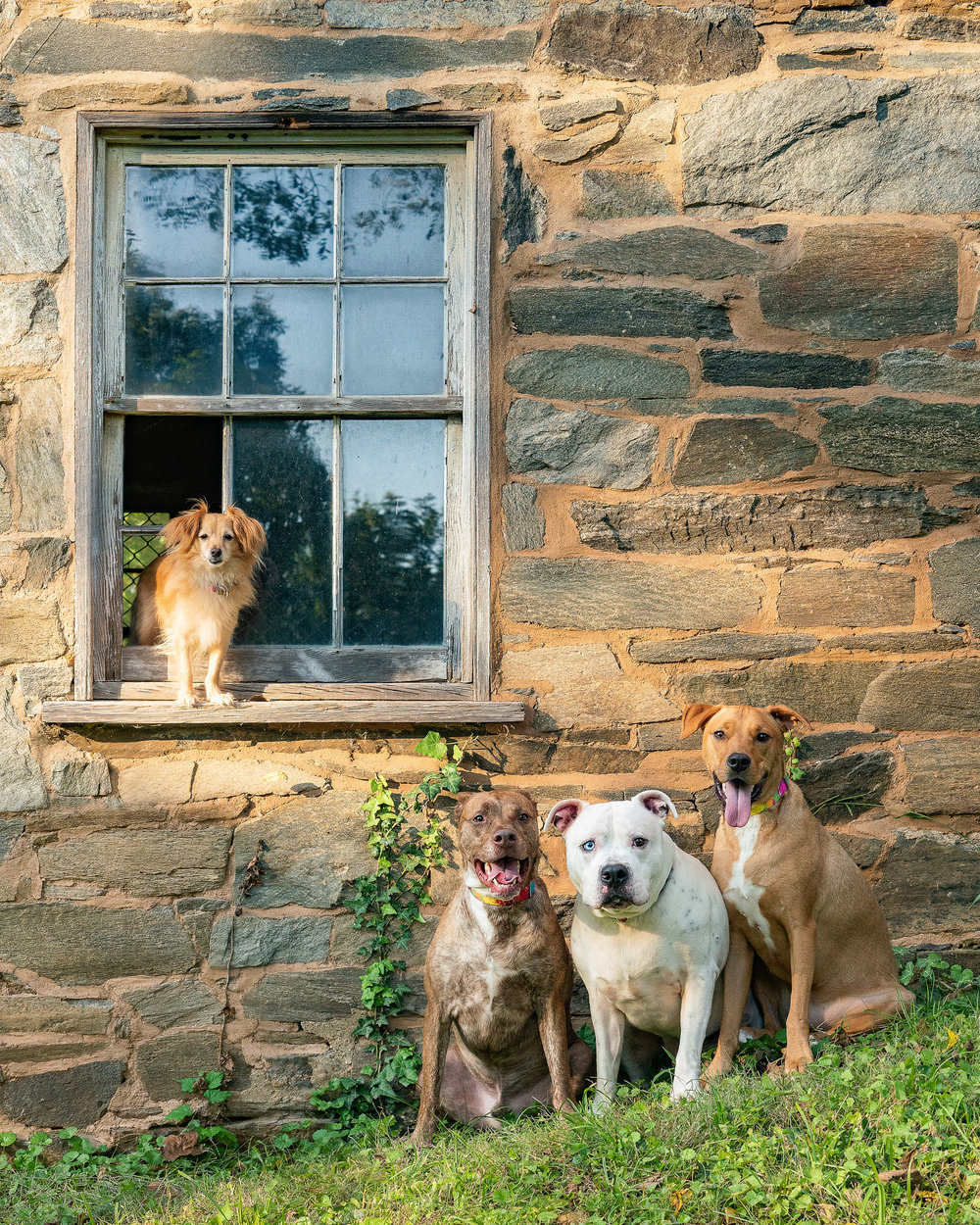 It took a few tries but we eventually captured an image with all 4 of these dogs together. The dogs did have leashes on which we edited out, but other than that this image is 100% real.