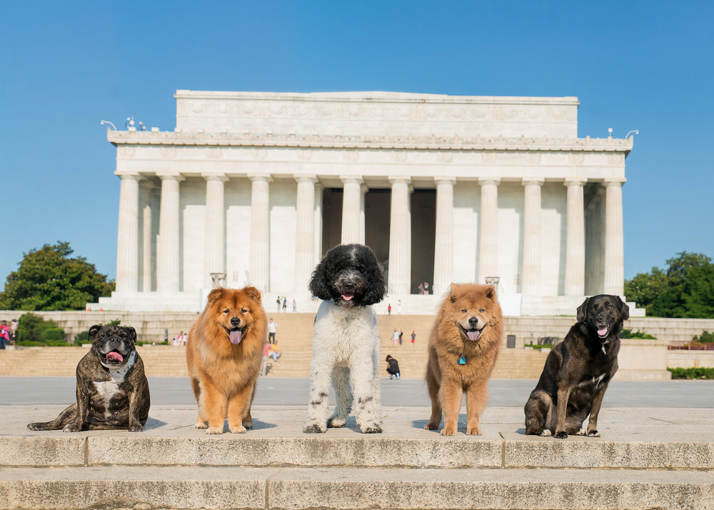 """These dogs were all photographed separately and then put into this Lincoln Memorial image. Scroll down to see what the """"before"""" images looked like.  Also, if you recognize this image it is because  We The Dogs DC  contacted us to do the cover image for their book!"""