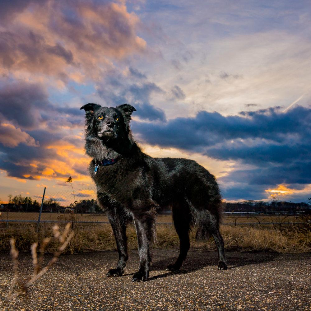 Freki Sunset Dog Picture - Pet Art Bowie MD