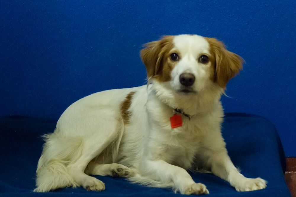3-31-2016-01 Emma, Spaniel mix female spayed.jpg