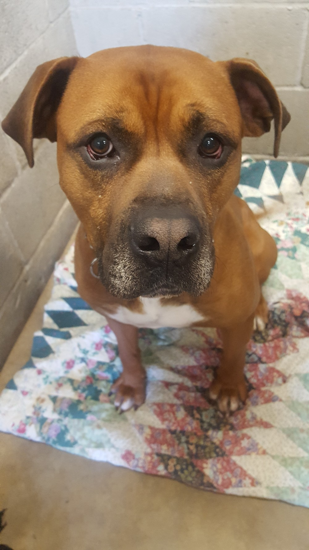 3-31-2016-01 Preston, Boxer mix male.jpg