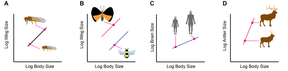 Figure 1:  Potential changes in static allometry.  A:  Static allometry describes the relationship between trait size and body size across the range of body sizes observed in a species or population.  B:  Differences in the intercept of static allometries capture differences in relative trait size and body proportion across all body sizes, for example the differences in relative wing size between bees and butterflies.  C:  Traits with a low allometric slopes are more-or-less the same size across all body sizes and so are proportionally larger in smaller individuals, for example brain size in humans.  D:  Traits with high allometric slopes are proportionally larger in large individuals, for example antler size in male elk.