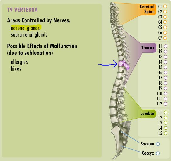 thorax region that adjusts nerve supply to the adrenal glands