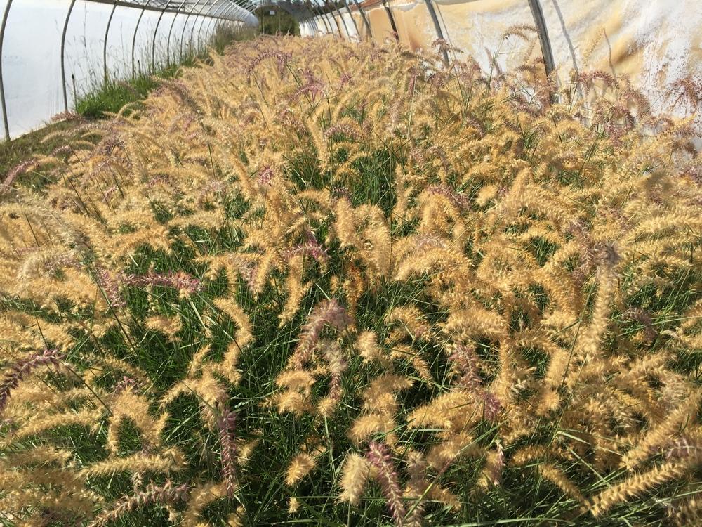 Pennisetum orientale 39 karley rose 39 herewegogreen for Oriental grass for shade