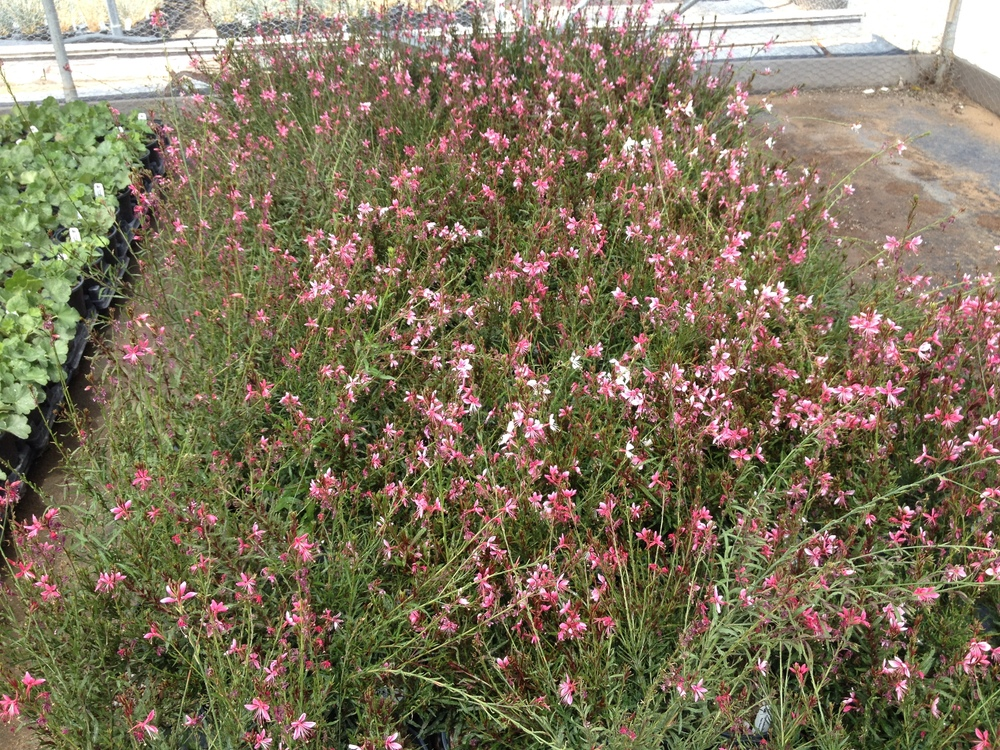 Gaura lindheimeri pink cloud herewegogreen mightylinksfo