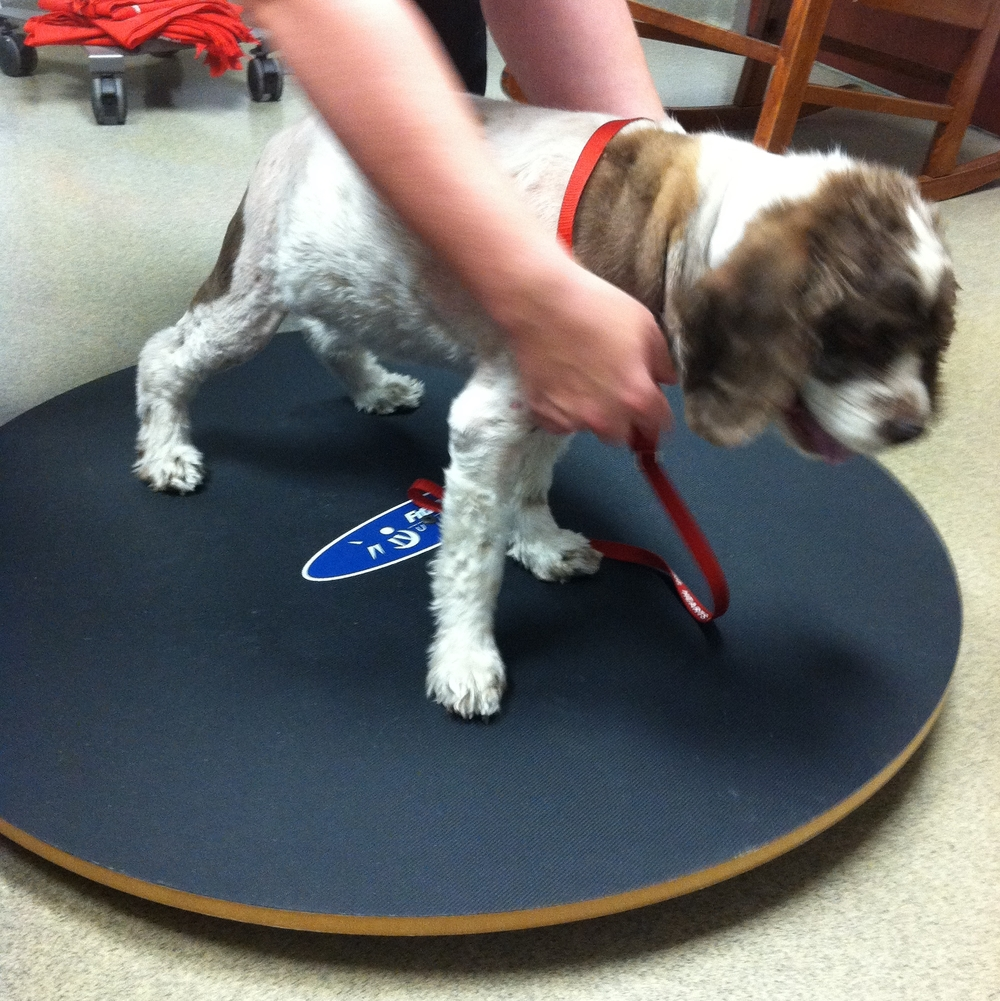 Canine physical therapy -  Therapy Land Treadmill Thermotherapy
