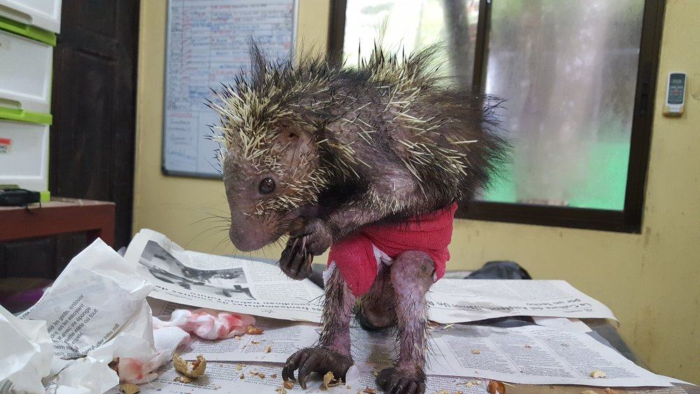 Changing the bandage on a porcupine with peanuts as a distraction