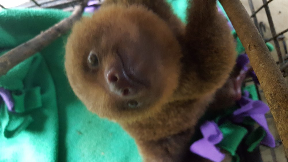 Baby two-toed sloth in the nursery