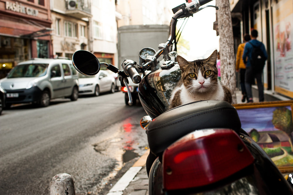 Cats of Istanbul 6