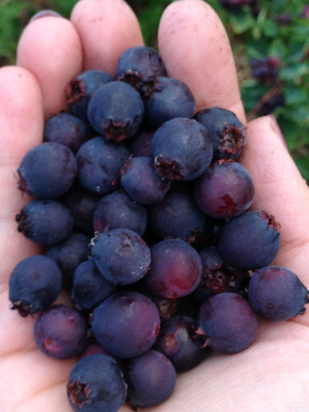 Saskatoon, the size of large blueberries, but with a more dense flesh and cherry-like flavor.