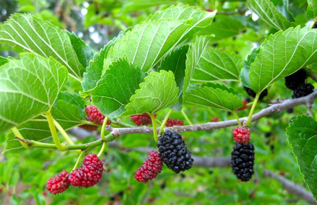 Red mulberry,  Morus rubra,  is an oft-overlooked yet prolific native tree in the eastern U.S. with blackberry sized fruits.