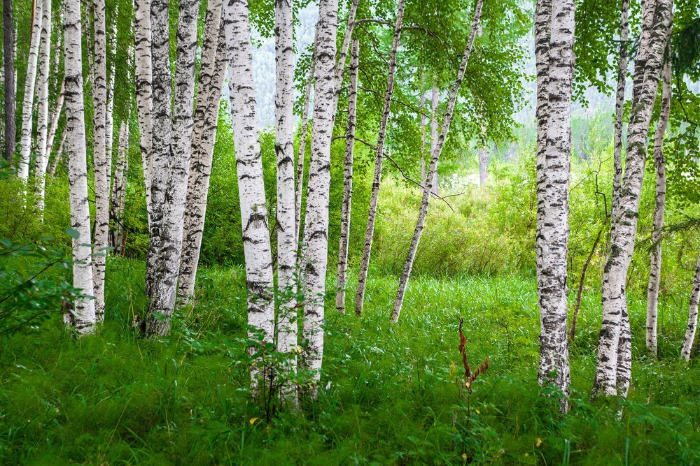 35716762 - beautiful birch grove on the banks of the river in the russian siberia