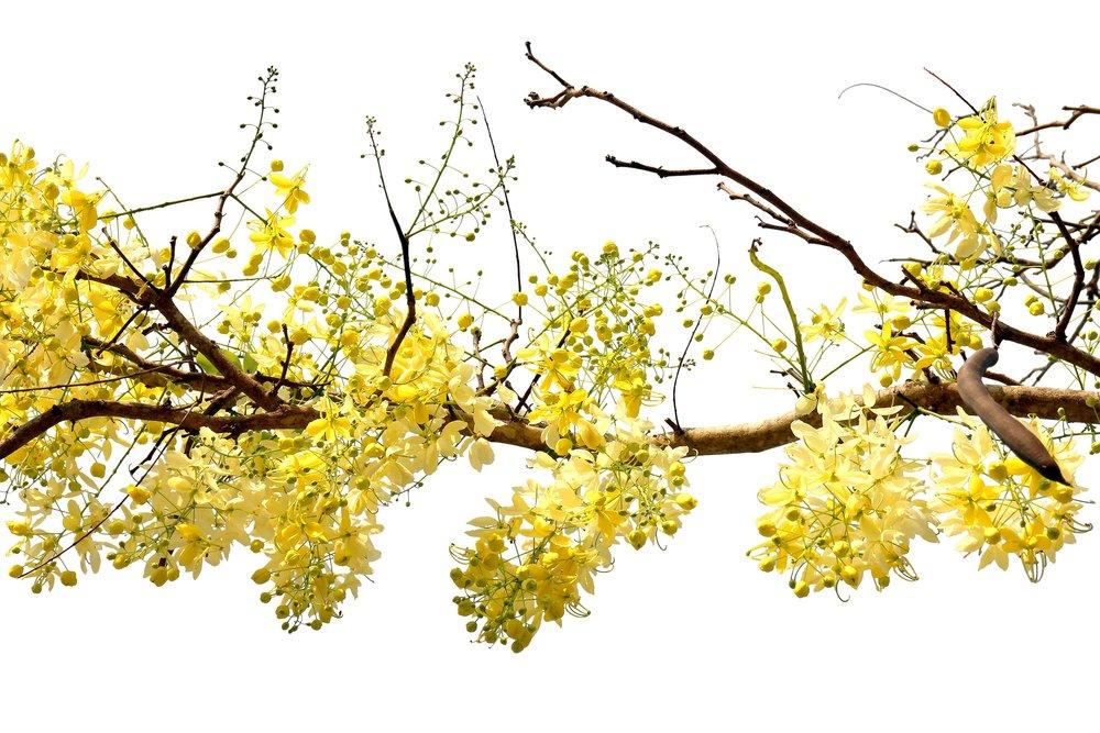 Flex5-Aromatherapy-Cassia-Cinnamomum-Cassia-Essential-Oil-Uptown-Charlotte-NC