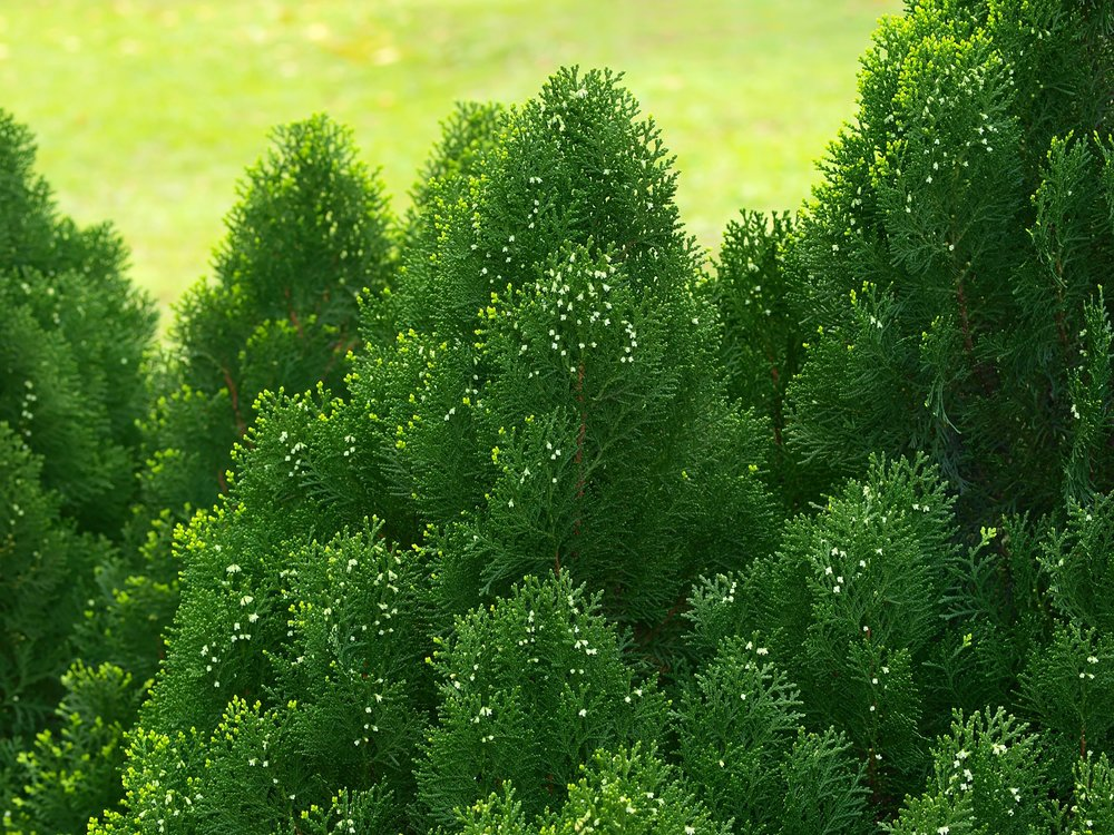 16840428 - green cypress tree, close up