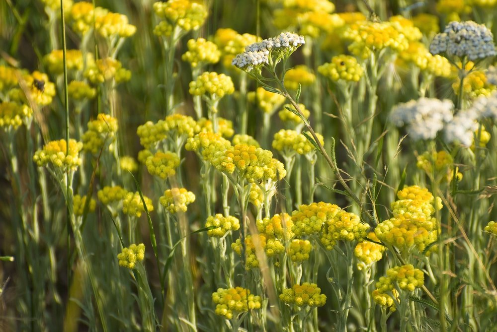 12249473 - helichrysum arenarium immortelle background